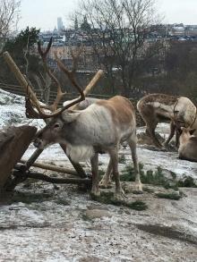 Reindeer at Skansen, Stockholm
